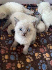 BKH Kitten in Blue Point