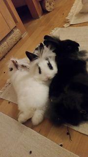 Geimpftes Kastr Süßes Kaninchen-Baby Löwenköpfchen-Mix