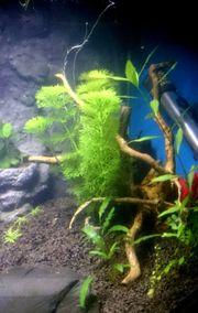Wasserpflanzen Bund Limnophila sessiliflora Sumpffreund