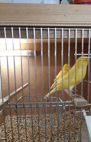 Verkaufe wunderschönes gelbes Kanarienpärchrn