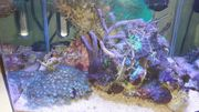 Korallen Lebende-Steine Anemonen Krustenanemone Steinkoralle