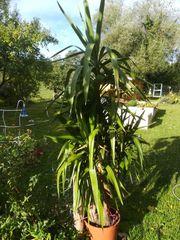 Yucca 2 m hoch zu