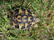 Griechische Landschildkröten Testudo Hermanni Hermanni