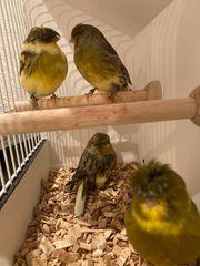 Gloster Kanarienvögel Hähne