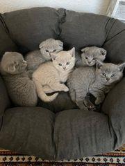 Bkh Scottish Fold Kitten Babys