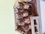 Burma Kitten reinrassig mit Stammbaum