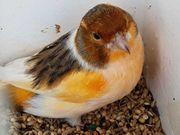 Kanarienvogel Schecke Hahn zu verkaufen