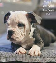 Old English Bulldog Mädchen