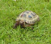 Vierzehenschildkröte Steppenschildkröte Russische Landschildkröte Testudo