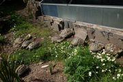Griechische Landschildkröten Zuchtgruppe 2 8