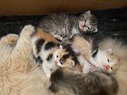 4 reinrassige Perser Kitten
