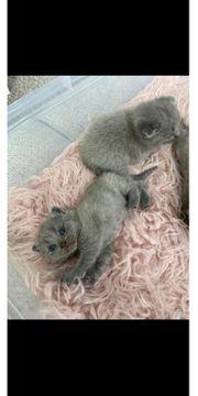 Reinrassige BKH Kitten Blue