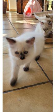 Katzenbabys Sibirische Katze Neva Masquarade