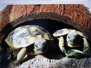 Griechische maurische und Breitrandschildkröten