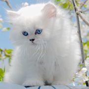 Edle BLH Kitten Britisch Langhaar