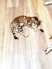 Bengal Kitten Mädchen sucht tolles