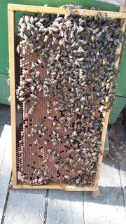 Bienenvolk Hobby-Imkerei auflösung