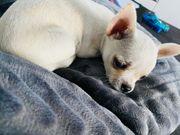 Prager Rattler-Chihuahua Welpen