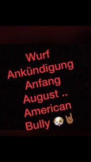 American Bully Classic Welpen
