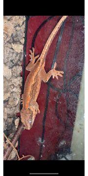 1 1 rhacodactylus auricluatus