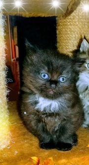 Edel Mix Mädchen Kitten langhaar