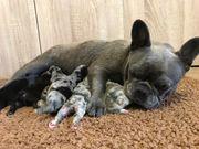 Französische Bulldoggen Welpen m P