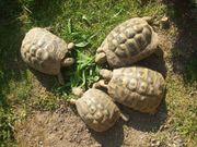 Griechische Landschildkröte Männchen 11 Jahre