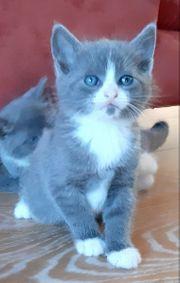 BKH Kitten Mix grau vielfarbig
