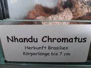 Nhandu Chromatus weibchen Vogelspinne