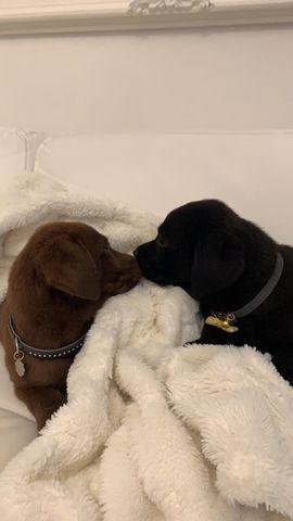 Labrador In Berlin Hunde Kaufen Verkaufen Auf Quoka De