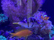 Meerwasser Fisch Kugelfisch Korallen Zoas