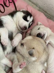 Wunderschöne Sibirische Husky Welpen