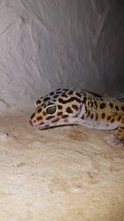 Leopardgeckomännchen