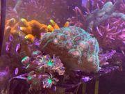 Korallen suchen neue Zuhause
