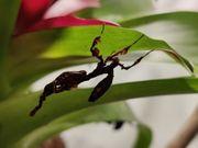Phyllocrania paradoxa Geistermantis verdorrtes Blatt