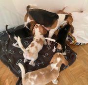 reinrassige Beagles Zwei Weibchen nach