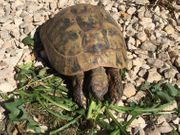 Griechische Landschildkröten Nachzuchten 2019 mit