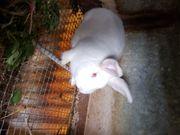 Stallhasen Kaninchen