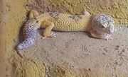 Leopardgecko Breeder Male