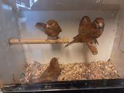 Kanarienvögel in verschieden Farben