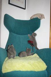 Wunderschöne BHK-Karthäuser Kitten