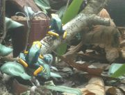 Zuchtpaar Dendrobates tinctorius tumucumaque adult