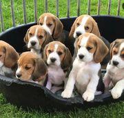 Beagle Welpen Abgabe bereit
