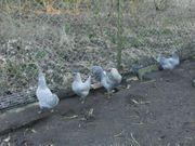Bruteier englische lavender araucana grüne