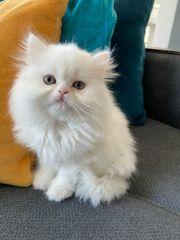 Kitten Perser BKH