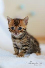 Baby Bengal Katze mit Stammbaum