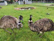 1 1 Emu - Zuchtpaar aus