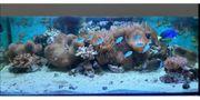 Meerwasser Aquarium inkl Technik Korallen