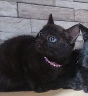 Main Coon Bkh Kitten