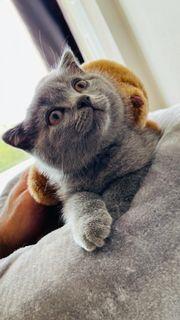 süße BKH Kitten Katzen Abgabebereit